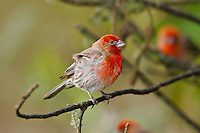 House Finch, (Carpodacus mexicanus) An introduced finch found on all of the main Hawaiian Islands