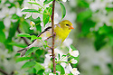 00445-029.06 American Goldfinch female is perched in a crab apple tree in bloom.  Color, spring, landscape.