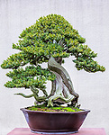 Korean Yew (Taxus cuspidate)<br /> Bonsai since 1986, Yoo collection<br /> Pacific Bonsai Museum, Federal Way, Washington