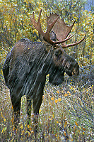660500003v an adult bull moose with a full rack of antlers forages on fall colored foliage in a late fall snowstorm near oxbow bend of the snake river in grand tetons national park wyoming