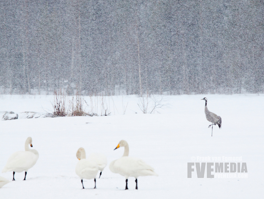 Whooper Swans and Common Crane