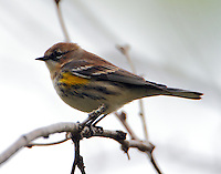 Myrtle warbler in winter