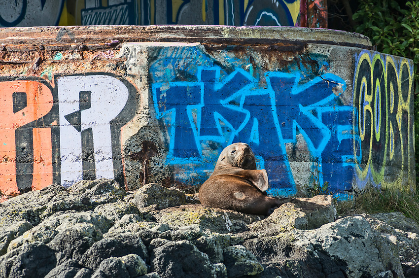 New Zealand fur seal keeps watch over graffiti on the Otago Peninsula