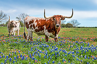 Longhorns in a Field of Wildflowers - These longhorns seem to be coming by to check us out as they seem to say ok your got attention now we are here for our close up where do you want us.  It seem that one or two would come over and check us out and move on quickly and luckly for us they were in the wildflowers. This field had bluebonnets and indian paintbrush so it gave a little contrast in this field in the Texas Hill country outside of Johnson City.