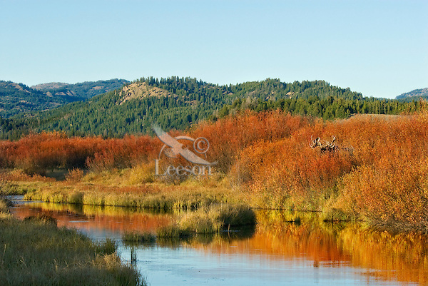 Bull Moose (Alces alces)--hidden by willows, by old beaver pond, Western U.S., fall.