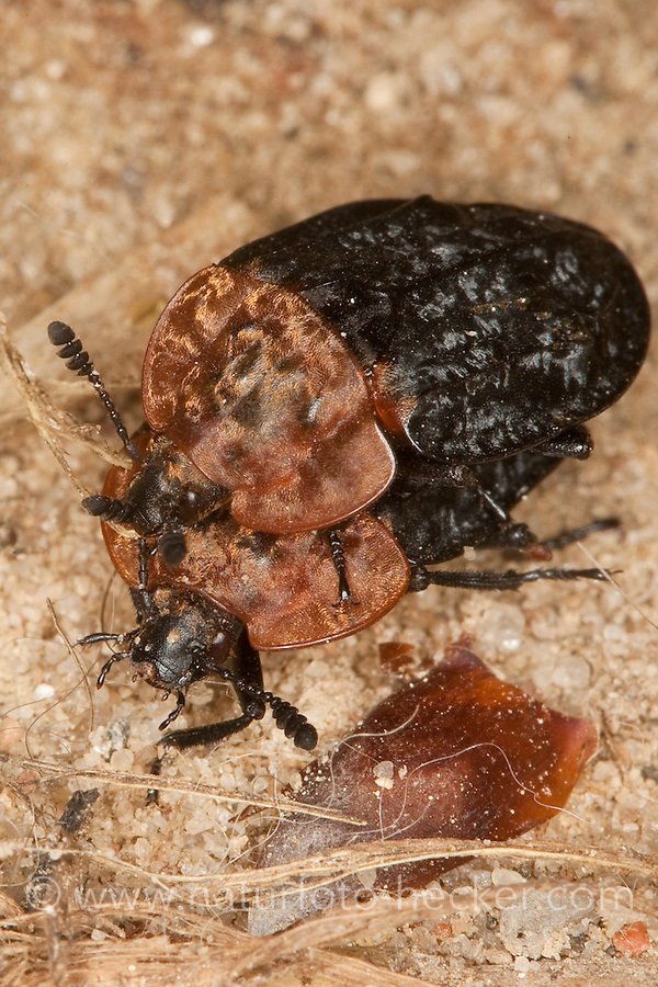 Rothalsige Silphe, Aaskäfer, Kopulation, Paarung, Oeceoptoma thoracicum, Oiceoptoma thoracium, Oiceoptoma thoracica, carrion beetles, burying beetles, carrion beetle, burying beetle