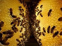 In the hive between two parallel honeycombs. The bees store the nectar in the wax cells and, fanning it, transform it into honey by lowering the moisture level from 80% to 17%. The buccal exchange between bees, the trophallaxis, plays a role in the making of the honey through the addition of enzymes.<br /> Dans la ruche entre deux rayons parallèles de miel. Les abeilles stockent le nectar dans les cellules de cire et le transforment en miel en abaissant son niveau d'humidité de 80 % à 17 % par ventilation. L'échange buccal entre abeilles, la trophallaxie participe à son élaboration par l'ajout d'enzymes.