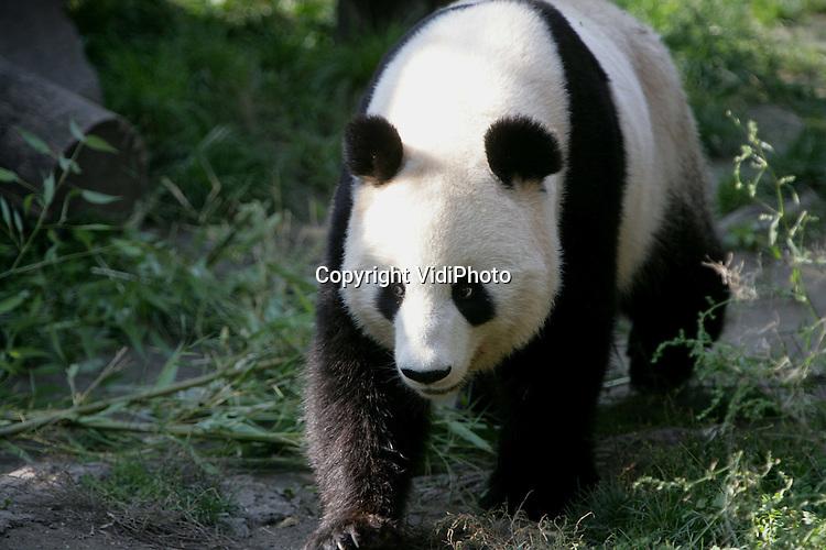 Foto: VidiPhoto..WENEN - De grote panda's in de Schönbrunner Tiergarten in Wenen. De oudste en beroemdste dierentuin ter wereld is in het bezit van drie grote panda's. Een mannetje, een vrouwtje en een jong. De panda's eten ongeveer 30 kilo bamboe per dag. De panda behoort tot één van de meest bedreigde diersoorten ter wereld en komt alleen in China in het wild voor.