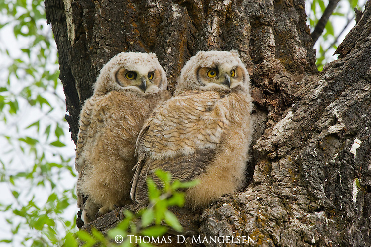 Two great horned owlets perch above their nest in the heart-shaped hollow of a cottonwood tree in Grand Teton National Park, Wyoming.