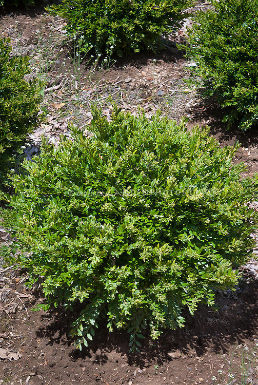 Buxus microphylla 'Green Gem' aka Buxus x koreana 'Green Gem', evergreen shrub