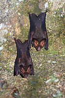 The Lesser False Vampire Bat, Megaderma spasma is a bat found in South Asia and Southeast Asia from Sri Lanka and India in the west to Indonesia and the Philippines in the east. They live in caves and tree hollows. They are insectivorous. The Lesser False Vampire Bat has a wingspan of up to 30 centimetres (12 in) and have a head-and-body length of around 10 centimetres (3.9 in).
