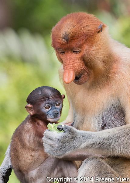 Borneo Proboscis Mom and Baby