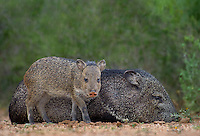650520332 wild javelinas or collared peccaries dicolytes tajacu forage near a waterhole on santa clara ranch in starr county rio grande valley texas united states