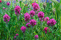Magenta Paintbrush (Castilleja parviflora).  Washington Cascade Mountains.  Summer.