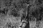 GIRAFFES OF THE SOUTH LUANGWA NATIONAL PARK, ZAMBIA.<br /> COPYRIGHT PHOTOGRAPH BY IAN MCILGORM  JUNE 2014