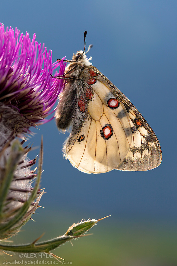 Small Apollo butterfly {Parnassius phoebus} resting on thistle head in alpine meadow. Nordtirol, Tirol, Austrian Alps, Austria, August.