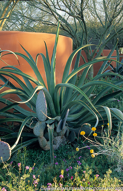 In a design by  Phoenix landscape architect Steve Martino, the red earth colored walls at Arid Zone Trees provide a perfect backdrop for dramatic succulents like the huge octopus agave ( Agave vilmoriana) and gray green prickly pear cactus.