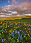 Columbia Hills State Park, WA: Approaching storm at sunrise with lupine and balsam root blooming on a hillside in the Columbia Hills above the Columbia River