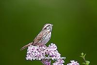 01575-01805 Song Sparrow (Melospiza melodia) singing on Dwarf Korean Lilac Bush (Syringa meyeri 'Palibin'), Marion Co., IL
