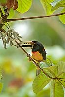 Collared Aracari feeding, Chan Chich, Belize