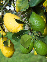 Italy, Calabria: lemon tree, green and yellow fruit