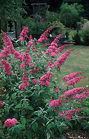 Buddleia davidii 'Pink Delight' = Buddleja butterfly bush in bloom in garden many flowers, with lawn,