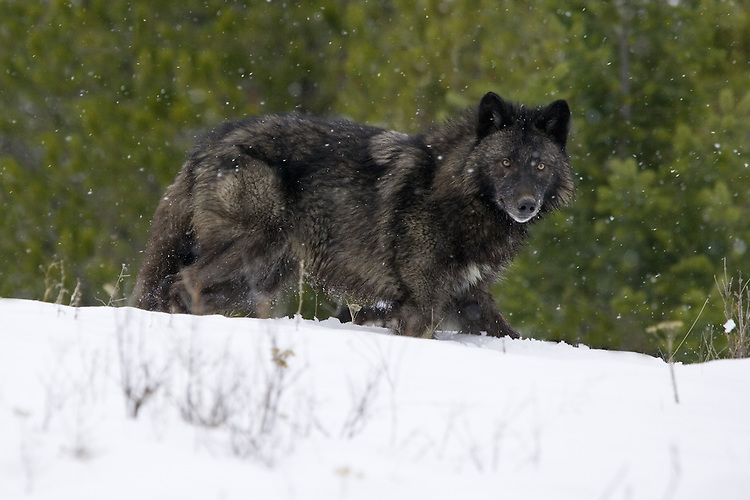 Grey Wolf standing in the falling snow on top of a hill - CA