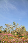 Israel, Olive grove in the Lower Galilee