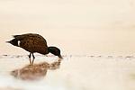 Chestnut Teal (Anas castanea) drake surface feeding, Murramarang Beach, Murramarang National Park, New South Wales, Australia