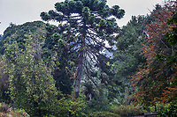 Tall conifer tree, San Francisco Botanical Garden