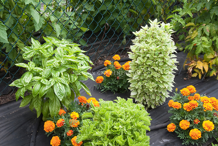 Basil varieties growing in garden with orange marigolds, landscape fabric mulch, soaker hose, including Pesto Perpetuo (variegated basil), Genovese, and Green Ruffles