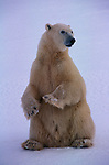 A polar bear sits upright in a snow field in Canada.