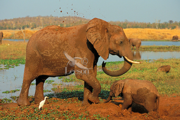 African elephants (Loxodonta africana)--cow and calf--enjoying a mud hole.  Africa.