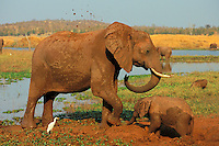 African elephants (Loxodonta africana)--cow and calf--enjoying a mud hole.  Africa.