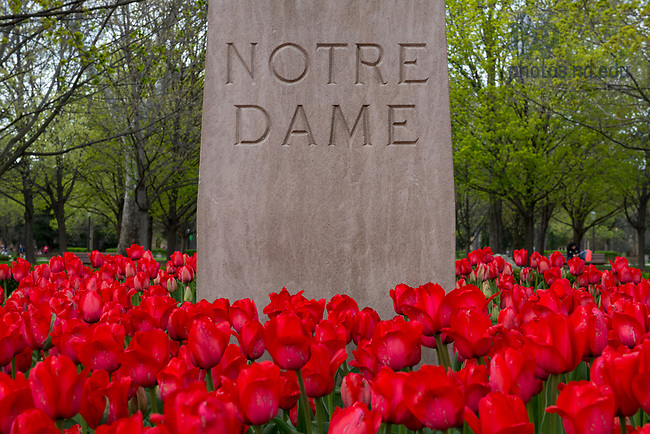 April 18, 2017; Tulips bloom on campus.  (Photo by Barbara Johnston/University of Notre Dame)