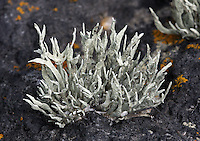 Armored Fog Lichen (Niebla homalea). Point Lobos State Reserve. Near Carmel, Monterey Co., Calif.