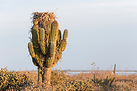 western osprey, Pandion haliaetus, adult, on nest made over Mexican giant cardon or elephant cactus, Pachycereus pringlei, Baja California, Mexico