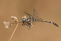 389020005 a wild male common sanddragon perches on a dead leaf stalk at hornsby bend travis county texas