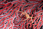 Florida Islands, Solomon Islands; a small, orange spider crab on a red gorgonian sea fan at night