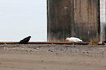 THE RAVEN - SEA GULL STAND OFF, KUGLUKTUK, NUNAVUT