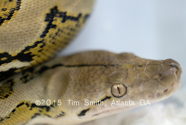 August 2007,  Daytona Beach, Florida ..Closeup of a reticulated python at the National Breeder's Exposition in Daytona Beach.  Breeding reptiles with desirable characteristics like color and size has led to international appeal and multi-million dollar annual sales.
