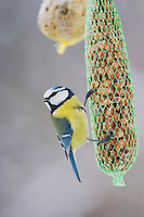Blue Tit, Parus caeruleus, adult on feeder, Oberaegeri, Switzerland, Dezember 2005