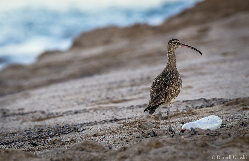 Photograph of a Whimbrel bird with a beautiful long beak. This beautiful bird is a coastal migrating bird flying from the far regions of North America to the farthest regions of South America.