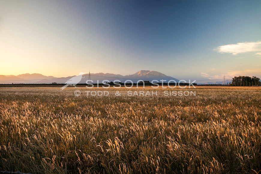 Late afternoon looking towards Mt Hutt across wheat field from farmland near Methven, Canterbury, New Zealand - stock photo, canvas, fine art print