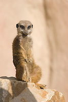 Germany, DEU, Gelsenkirchen, 2006-Oct-26: A meerkat (suricata suricatta) keeping watch in the Gelsenkirchen zoo.