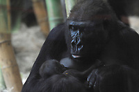 MAY 15 Rollie and her baby Gorilla