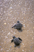 Kemp's ridley sea turtle hatchlings (Endangered), Lepidochelys kempii, crawl toward ocean when released after emerging from nest in protected corral, Rancho Nuevo, Mexico, Gulf of Mexico, Caribbean Sea, Atlantic Ocean