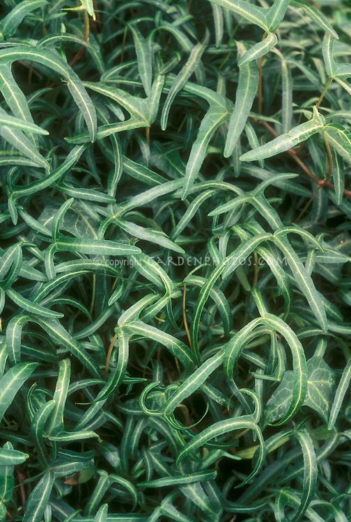 Hedera helix 'Tripod' English ivy with slender thin foliage, variegated vine