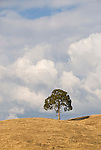 Oaks and clouds on golden hillside, late summer, Amador County
