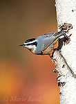 Red-breasted Nuthatch (Sitta canadensis), male clinging in its typical head-downward pose on birch trunk in autumn, New York, USA